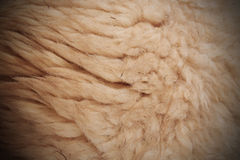 White woolly sheep fleece for background Royalty Free Stock Photography