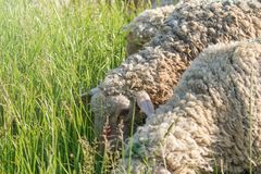 White Woolly Sheep Flock Grazing in a Green Field royalty free stock photos