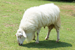 White Woolly Sheep. Grazing in a field in Thailand Stock Photos