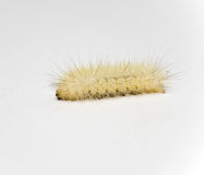 White Wooly Caterpillar. Rare and united white / albino woolly caterpillar. Photographed on a white background. Discovered in a garden in Virginia, USA Royalty Free Stock Photography