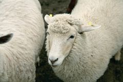 White wooly sheep Royalty Free Stock Photos