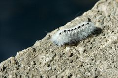 White Wooly Worm Stock Images