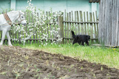 White work horse and black mongrel dog during spring ploughing fieldwork Royalty Free Stock Photography