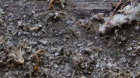 White worm found in the ground,larvae, super worm,white worms travel in scrap. Nature stock video footage