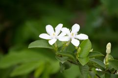 White Wrightia antidysenterica flower in nature garden. Beautiful White Wrightia antidysenterica flower in nature garden Stock Photo