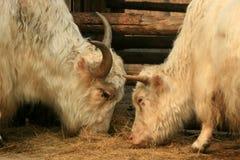 White yak Royalty Free Stock Photos