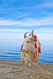 White yak. There is a white yak standing in front of a lake, which is beautifully shining under the blue sky Stock Photo