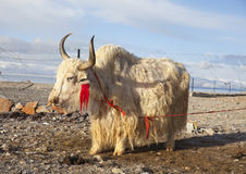 White yak Royalty Free Stock Photography