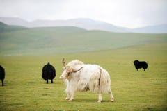 White  yak Stock Photo