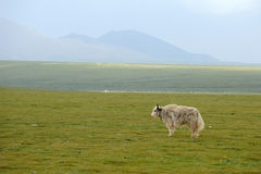 A white yak Royalty Free Stock Images