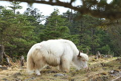 White Yak. On the grass Royalty Free Stock Image
