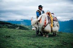 White yak royalty free stock image