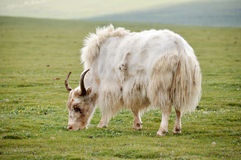 White yak eating grass Royalty Free Stock Image