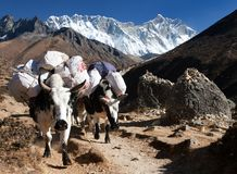 White Yak and mount Lhotse - Nepal Stock Images