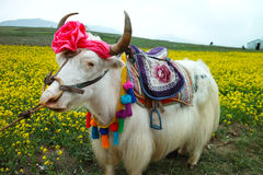 White yak. Qinghai-Tibet Plateau white yak Royalty Free Stock Photos
