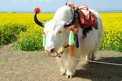 White  yak in the rape seed field Royalty Free Stock Photography