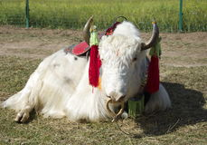 White Yak Royalty Free Stock Photos