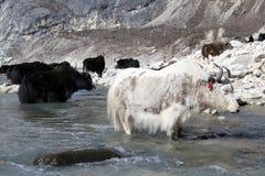 White yak Royalty Free Stock Photography