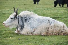 White yak sitting on the grass Stock Photo