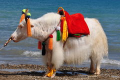 White Yak stand at Lakeside Royalty Free Stock Image
