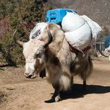 White Yak on the way to Everest base camp Royalty Free Stock Photography