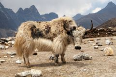 White yak on the way to Everest base camp Royalty Free Stock Image