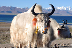 White yaks in Tibet Royalty Free Stock Images