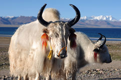 White yaks in Tibet. White yaks at the bank of a blue lake in Tibet royalty free stock photography