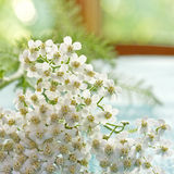 White Yarrow Royalty Free Stock Photo