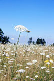 White Yarrow. This image shows a white yarrow with clear sky royalty free stock photo