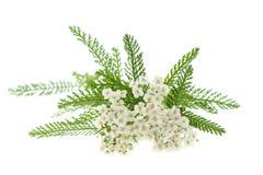 Free White Yarrow Stock Photo - 61352580