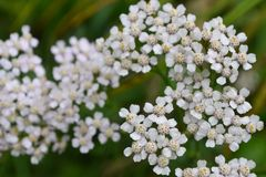 White yarrow blossoms foreground closeup view from above stock images