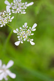 White yarrow flover Royalty Free Stock Photography