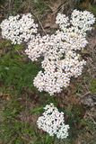 White Yarrow Flower. Yarrow is beautiful with deep green foliage and grayish white flower clusters. They grow up to two feet tall and are very easy to grow. They Royalty Free Stock Photo