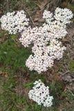 White Yarrow Flower Royalty Free Stock Photo