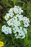 White Yarrow Flower. Yarrow is beautiful with deep green foliage and grayish white flower clusters. They grow up to two feet tall and are very easy to grow. They Stock Photography
