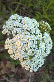 White Yarrow Flower. Yarrow is beautiful with deep green foliage and grayish white flower clusters. They grow up to two feet tall and are very easy to grow. They Royalty Free Stock Photography