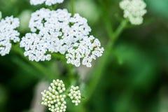 White yarrow flower macro background Royalty Free Stock Photos