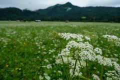 White yarrow flowers on a green pasture. In Bavaria Germany stock photo