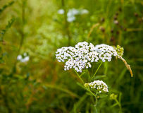 White Yarrows flowers with green background Stock Photography