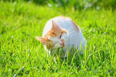White and yellow adult domestic cat eating grass on the garden. A white cat eating grass in a garden Royalty Free Stock Photos