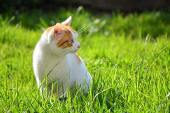 White and yellow adult domestic cat sitting in grass and looking to the right side.  Royalty Free Stock Image