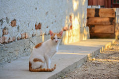 White and yellow adult domestic cat sitting on the wall at the sunset stock photo