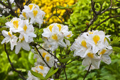 White and yellow azalea. Stock Photography