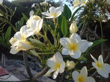 White and Yellow Beauties Royalty Free Stock Photography