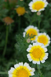 White yellow big daisy. Several White yellow big daisy in green environment Royalty Free Stock Image