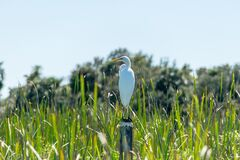 White and Yellow Bird on Pole Beside Grasses during Daytime Royalty Free Stock Image