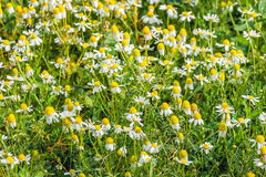 White and yellow blooming chamomile and other wild plants from c Royalty Free Stock Photos