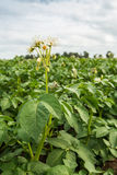 White and yellow blooming potato plant Royalty Free Stock Photos