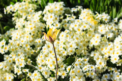 White and yellow blooming spring flowers on meadow. Royalty Free Stock Image